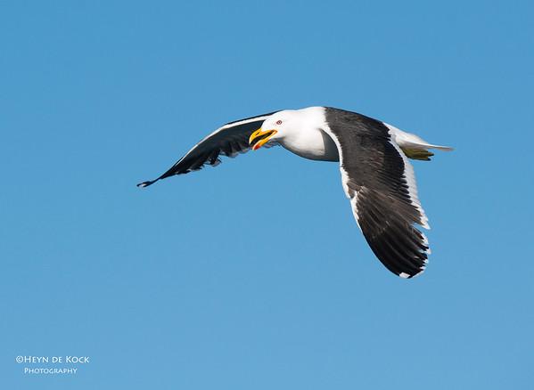 Kelp Gull, Wollongong, NSW, Aus, Aug 2013