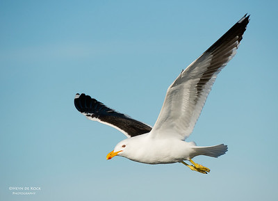Kelp Gull, Wollongong Pelagic, NSW, Aus, Aug 2013-3