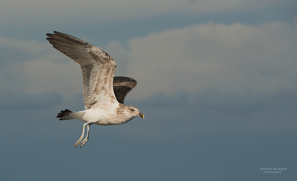 Kelp Gull, sub-adult, Wollongong Pelagic, NSW, Aus, May 2014-1