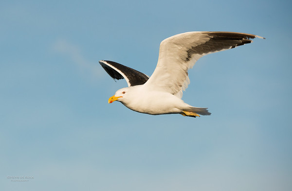 Kelp Gull, Wollongong Pelagic, NSW, Aus, May 2014-2