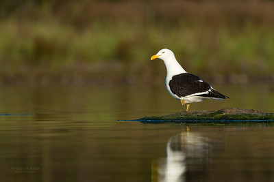 Kelp Gull, Lake Wollumboola, NSW, Nov 2014-1