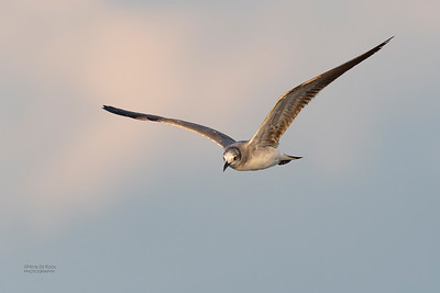 Laughing Gull, Fort De Soto, St Petersburg, FL, USA, May 2018-10