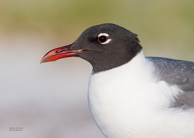 Laughing Gull, Fort De Soto, St Petersburg, FL, USA, May 2018-2