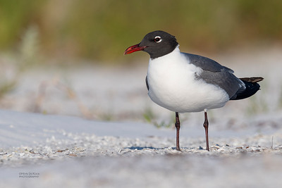 Laughing Gull, Fort De Soto, St Petersburg, FL, USA, May 2018-3