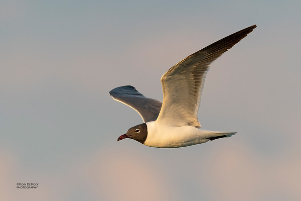 Laughing Gull, Fort De Soto, St Petersburg, FL, USA, May 2018-6