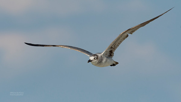 Laughing Gull, Fort De Soto, St Petersburg, FL, USA, May 2018-9