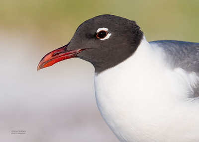 Laughing Gull, Fort De Soto, St Petersburg, FL, USA, May 2018-1