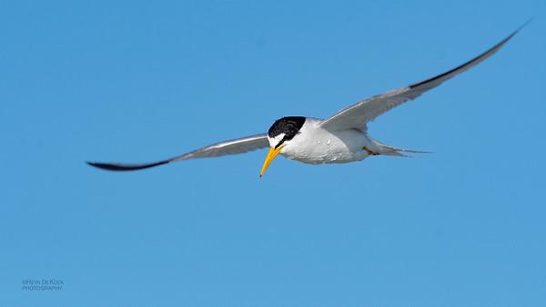 Least Tern, Fort De Soto, St Petersburg, FL, USA, May 2018-2