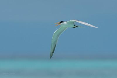 Lesser Crested Tern, Michaelmas Cay, QLD, Dec 2014-2 copy