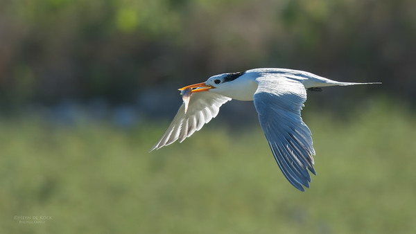Lesser Crested Tern, Lady Elliot Island, QLD, Dec 2015-4