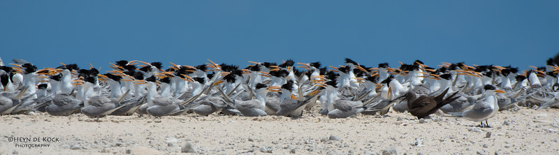 Lesser Crested Terns, Michaelmas Cay, QLD, Dec 2014-3