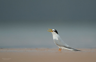 Little Tern, Lake Woolumbulla, NSW, Aus, Jan 2013-4