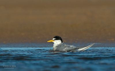 Little Tern, Culbarra, NSW, Aus, Feb 2013