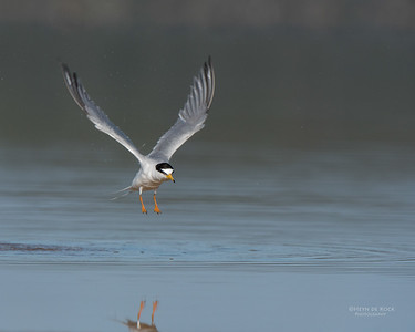 Little Tern, Lake Wollumboola, NSW, Nov 2014-1
