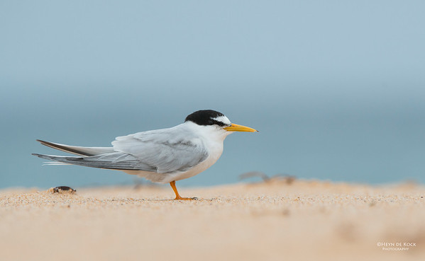 Little Tern, Lake Woolumbulla, NSW, Aus, Jan 2013-5