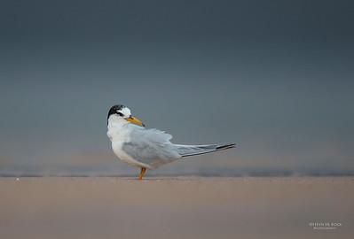 Little Tern, Lake Woolumbulla, NSW, Aus, Jan 2013-3