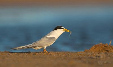 Little Tern, Culbarra, NSW, Aus, Feb 2013-4