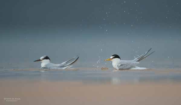 Little Tern, Lake Woolumbulla, NSW, Aus, Jan 2013