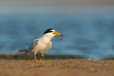 Little Tern, Culbarra, NSW, Aus, Feb 2013-2