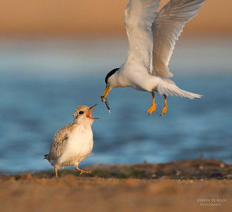 Little Tern feeding chick, Culbarra, NSW, Aus, Feb 2013