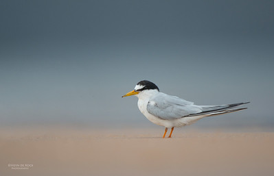 Little Tern, Lake Woolumbulla, NSW, Aus, Jan 2013-1
