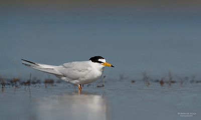 Little Tern, Lake Wolumboola, NSW, Aus, Nov 2013