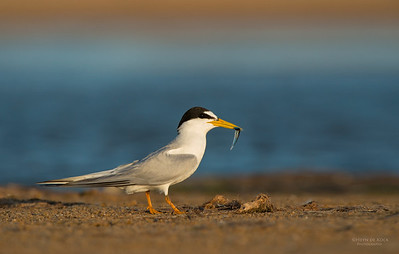 Little Tern, Lake Woolumbulla, NSW, Aus, Jan 2013-7
