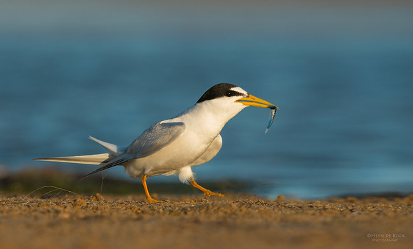 Little Tern, Lake Woolumbulla, NSW, Aus, Jan 2013-6