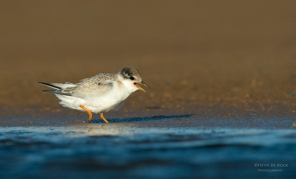 Little Tern, juv, Culbarra, NSW, Aus, Feb 2013