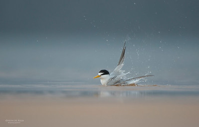 Little Tern, Lake Woolumbulla, NSW, Aus, Jan 2013-2