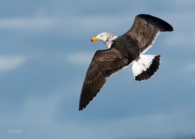Pacific Gull, Eaglehawk Neck Pelagic, TAS, Dec 2019-1