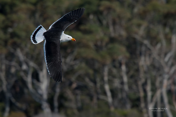 Pacific Gull, Eaglehawk Neck Pelagic, TAS, Sept 2016-3