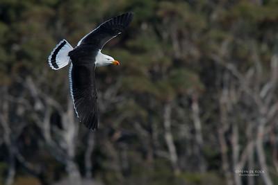Pacific Gull, Eaglehawk Neck Pelagic, TAS, Sept 2016-3