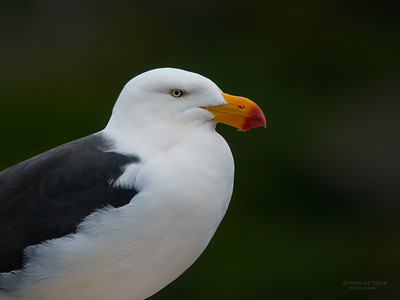 Pacific Gull, Eaglehawk Neck Pelagic, TAS, July 2015-1