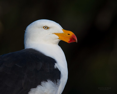 Pacific Gull, Eaglehawk Neck Pelagic, TAS, May 2016-2