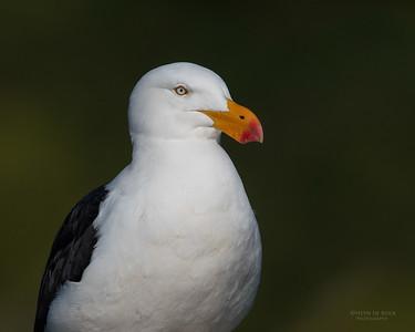 Pacific Gull, Eaglehawk Neck Pelagic, TAS, Sept 2016-5