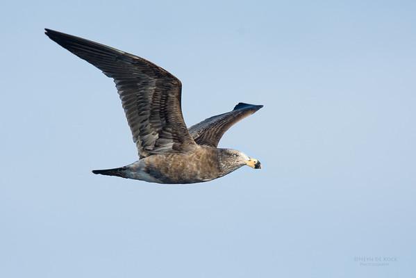 Pacific Gull, imm, Eaglehawk Neck Pelagic, TAS, July 2015-2