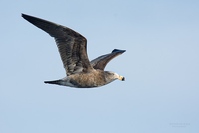 Pacific Gull, imm, Eaglehawk Neck Pelagic, TAS, July 2015-2