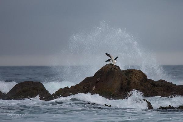 Pacific Gull, Eaglehawk Neck Pelagic, TAS, Sept 2016