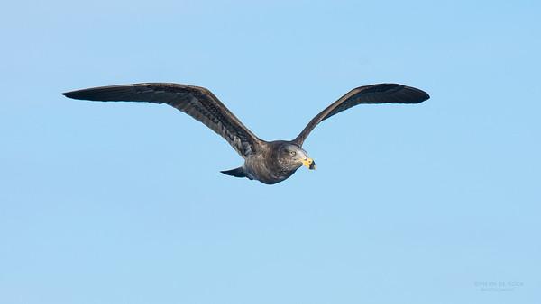 Pacific Gull, imm, Eaglehawk Neck Pelagic, TAS, July 2015-1