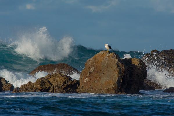 Pacific Gull, Eaglehawk Neck Pelagic, TAS, May 2016-1