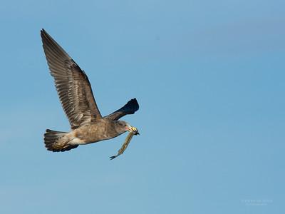 Pacific Gull, imm, Eaglehawk Neck Pelagic, TAS, July 2015-3