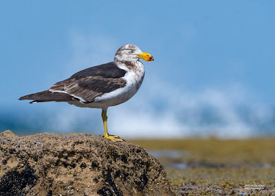 Pacific Gull, Anglesea, VIC, Oct 2018