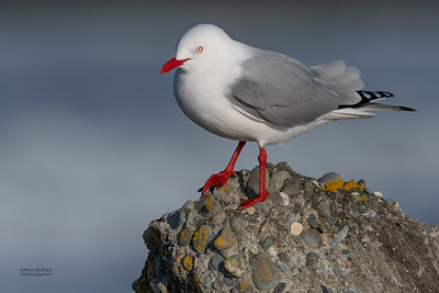Red-billed Gull, Greymouth, SI, NZ, Sep 2018-3