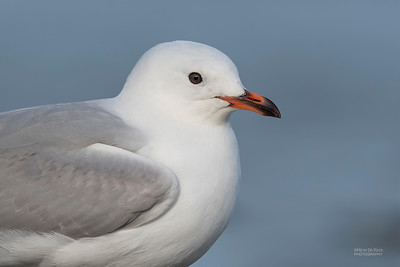 Red-billed Gull, imm, Christchurch, SI, NZ, Sep 2018-1