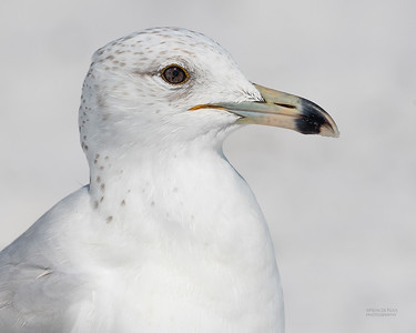 Ring-billed Gull, Fort De Soto, St Petersburg, FL, USA, May 2018-2