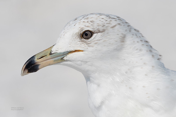 Ring-billed Gull, Fort De Soto, St Petersburg, FL, USA, May 2018-1