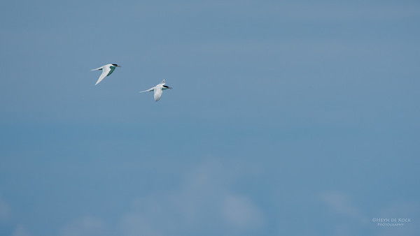 Roseate Tern, Michaelmas Cay, QLD, Dec 2014