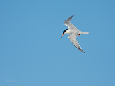 Roseate Tern, Lady Elliot Island, QLD, Dec 2015-18
