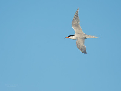 Roseate Tern, Lady Elliot Island, QLD, Dec 2015-11